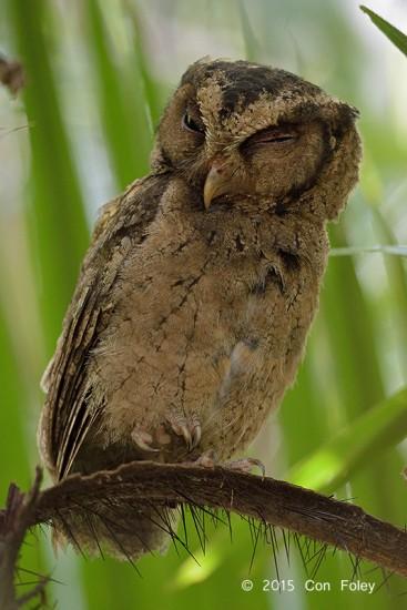 Owl_Collared_Scops_D82_5053