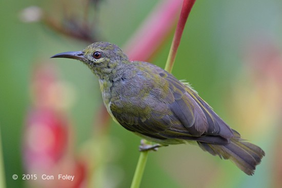 Sunbird_Brown-throated_female_D82_4507