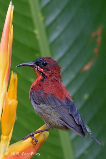 Sunbird_Crimson_subadult_male_D82_5877