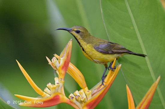 Sunbird_Olive-backed_eclipse_D82_4554