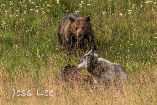 Grizzly and wolf at elk carcass. Yellowstone N.P.