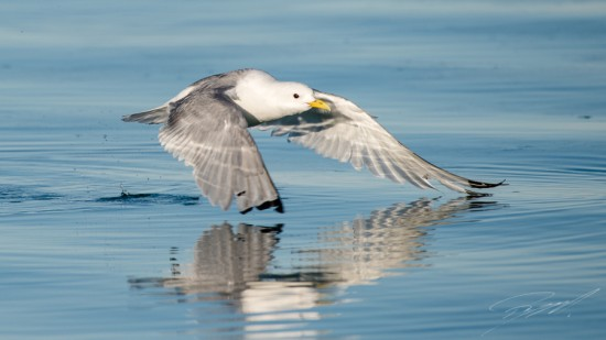Kittiwake take-off – Nikon D4s, 200-500mm @ 500mm, 1/2000sec, f/7,1 and ISO 400
