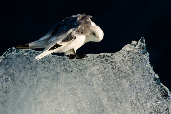 Kittiwake preening on ice – Nikon D4s, 200-500mm @ 300mm, 1/2000sec, f/7,1 and ISO 400