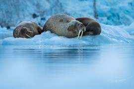 Walrus in the ice – – Nikon D4s, 200-500mm @ 340mm, 1/1600sec, f/5,6 and ISO 1250