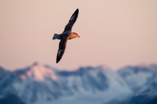 Northern Fulmar against the Spitsbergen mountains in evening light – Nikon D4s, 200-500mm @ 500mm, 1/640sec, f/7,1 and ISO 1250