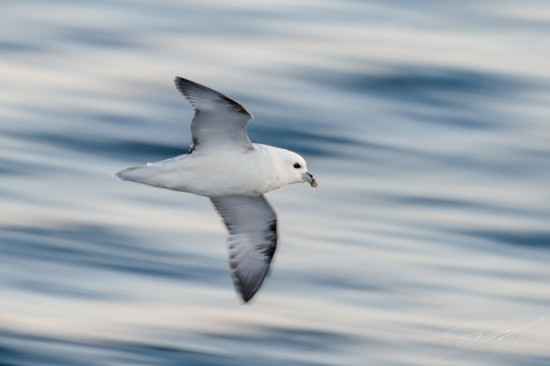 Northern Fulmar in flight – Nikon D4s, 200-500mm @ 400mm, 1/40sec, f/7,1 and ISO 400