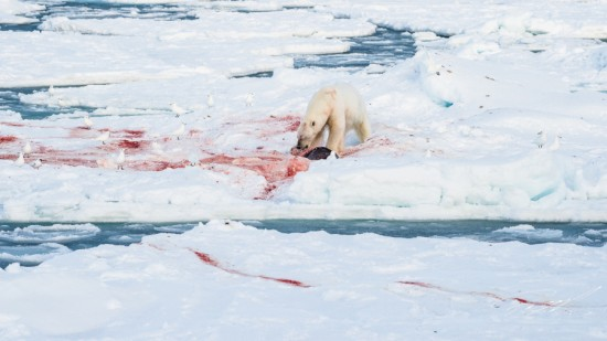 Polar bear with seal kill in the ice – Nikon D4s, 200-500mm @ 200mm, 1/2000sec, f/8 and ISO 1000