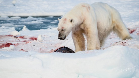 Polar bear on a seal kill – Nikon D4s, 200-500mm @ 500mm, 1/2000sec, f/8 and ISO 800