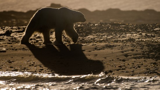 Backlit Polar bear walking on the beach – Nikon D4s, 200-500mm @ 460mm, 1/2000sec, f/8 and ISO 125