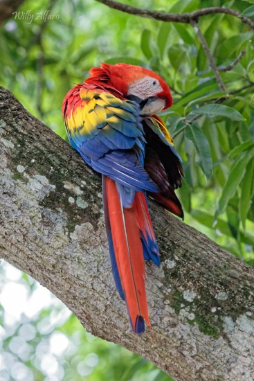 Scarlet Macaw - Nikon D7200 with Nikkor 300mm f/4 PF, 1/400s, f/6.3, ISO 5000