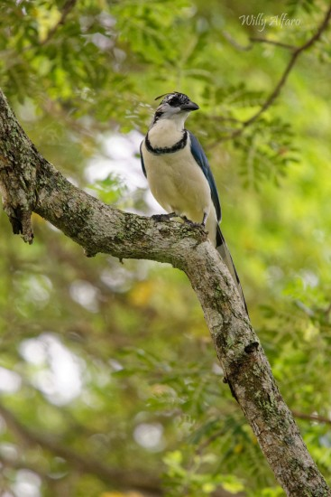 White-throated Magpie Jay - Nikon D7200 with Nikkor 300mm f/4 PF + TC--14E III, 1/400s, f/5.6, ISO 1250