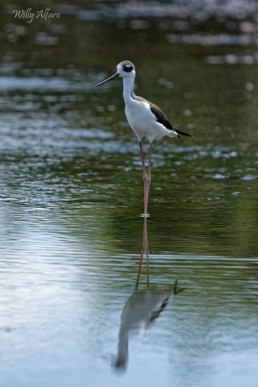 Black-necked Stilt - Nikon D7200 with Nikkor 300mm f/4 PF + TC--14E III, 1/2500s, f/5.6, ISO 640