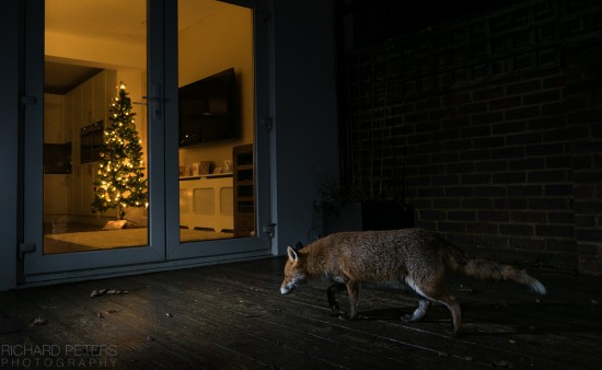 festive_fox_richard_peters_back_garden_safari