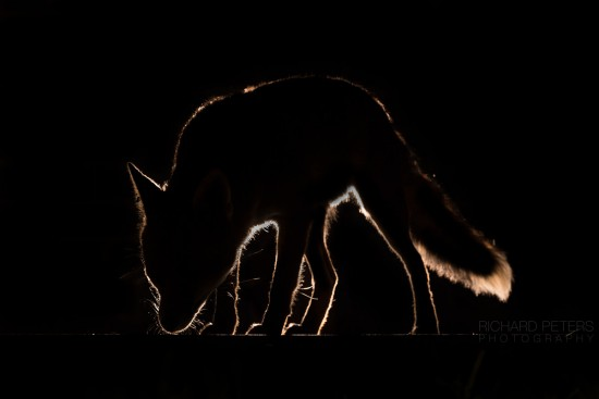 fox_rimlight_richard_peters_back_garden_safari