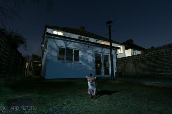 fox_stars_richard_peters_back_garden_safari