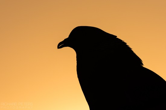 pigeon_silhouette_richard_peters_back_garden_safari