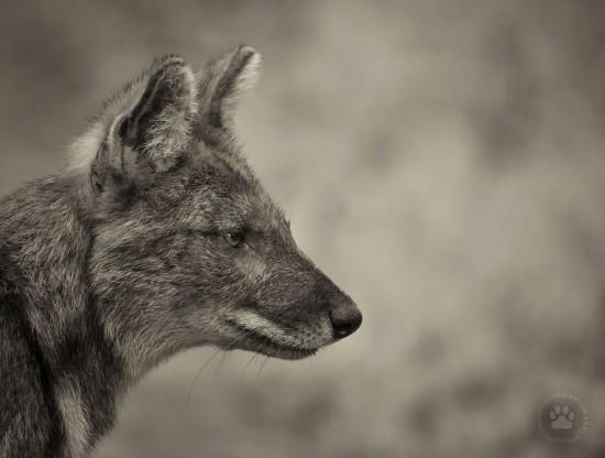 8_Dhole_wild dog