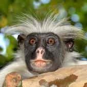 Colobus_monkey_0618