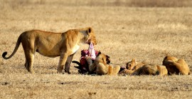 Lion_0227