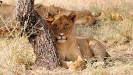 Lion_1413