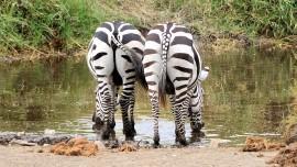 Zebra_1541