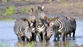 Zebra_9158