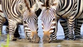 Zebra_9163