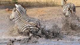 Zebra_9178_cut