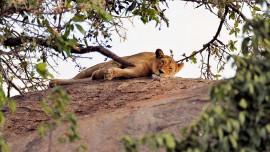 lion_9749