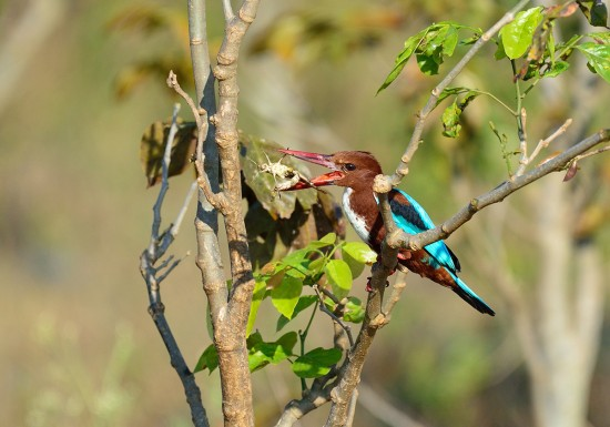 Kingfisher-with-cricket