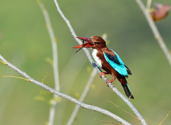 kingfisher-with-centipede