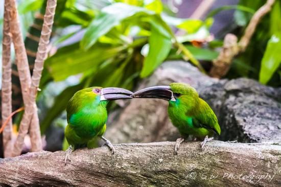 Amazonian Toucanets