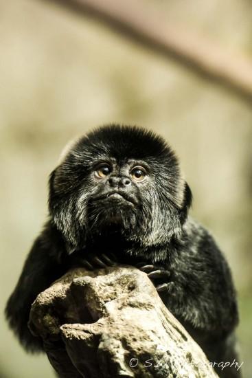Goeldi's Marmoset Monkey.