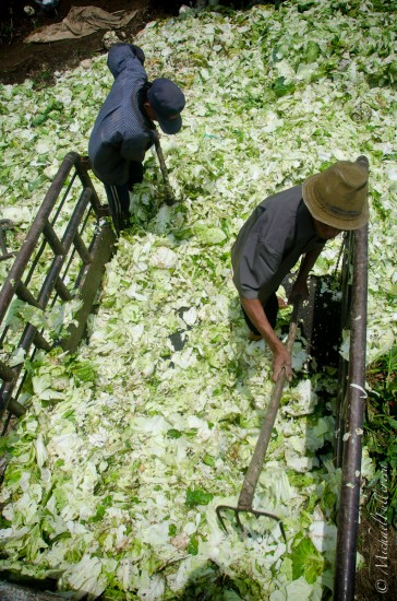 Cabbage is the business: Around North Sumatra, they love growing cabbage. There are entire sheds stacked double overhead with cabbage stockpiles. These men empty their rejects into the paddock for the cows.