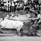 Bull Racing in Rice Paddy