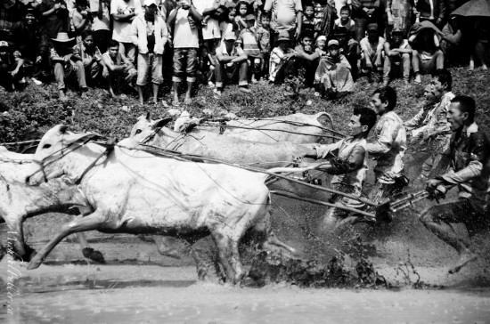 Bull Racing in Rice Paddy. From a remote rural rice harvesting festival in Central Sumatra.