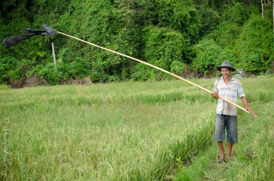 Between torrential downpours, this man and his family would run out from their paddy huts to scare away the birds.