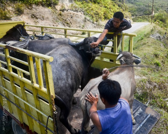 Struggling to get the buffalo into the truck, in a remote corner of Samosir Island, Lake Toba, Sumatra.