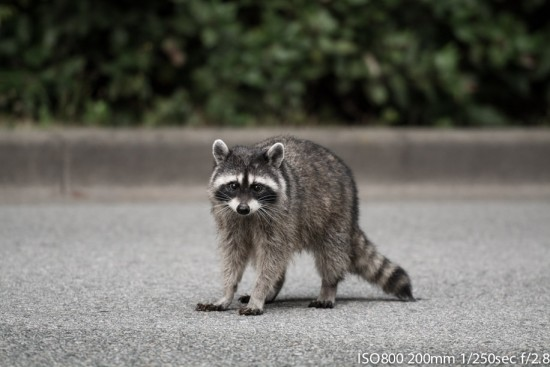 Racoon scouring the roadside