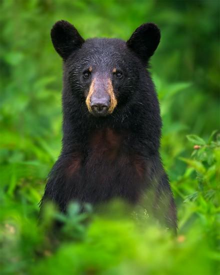 Black-Bear-On-Alert