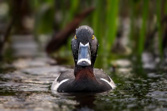 ring-billed-duck
