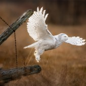 snowy-owl-taking-off
