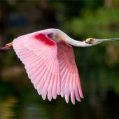 spoonbill-flyby