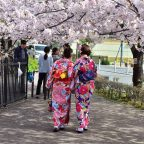 Kyoto cherry blossoms11