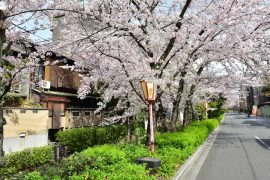 Kyoto cherry blossoms12