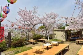 Kyoto cherry blossoms19