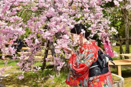 Kyoto cherry blossoms20