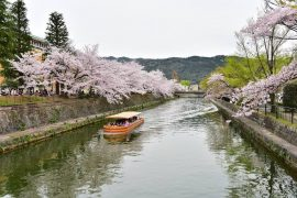 Kyoto cherry blossoms22
