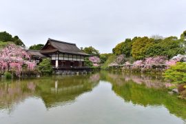 Kyoto cherry blossoms23