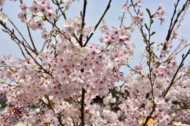 Kyoto cherry blossoms25